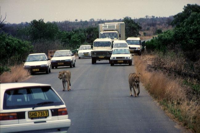 Löwen und Autos im Krüger Nationalpark © Wolfgang Stoephasius