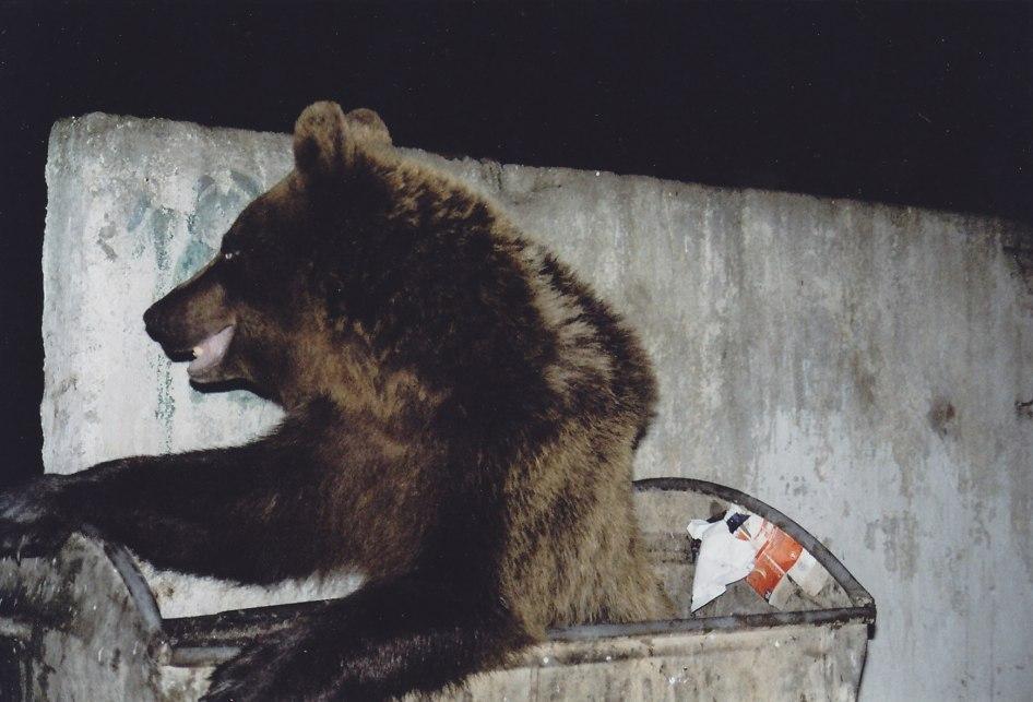 Bär in Brașov © Wolfgang Stoephasius