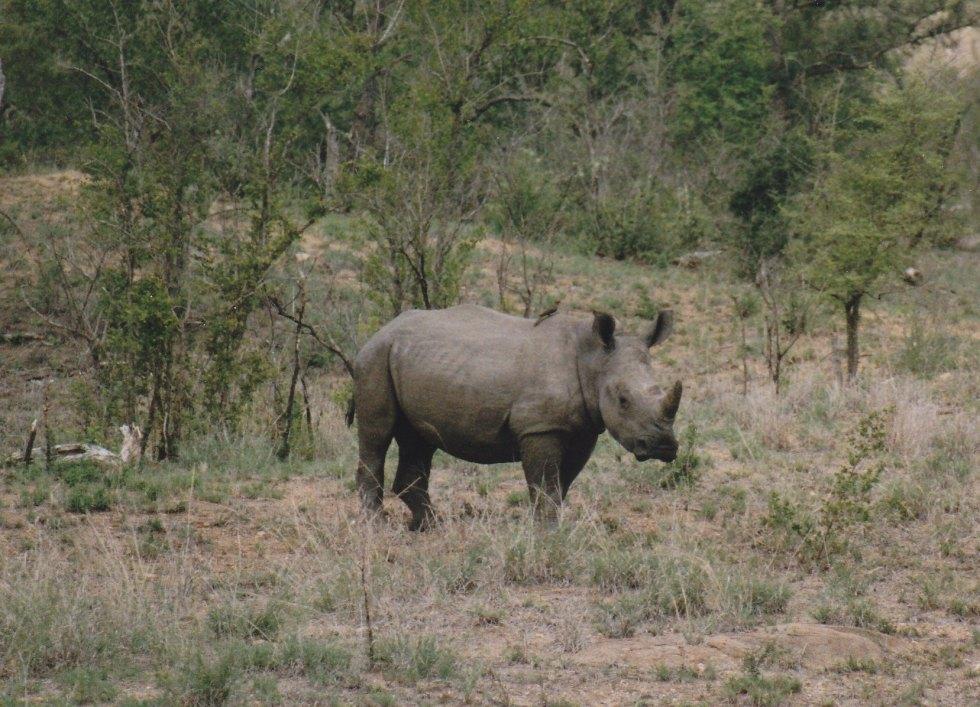 Nashorn im Krüger Nationalpark © Wolfgang Stoephasius