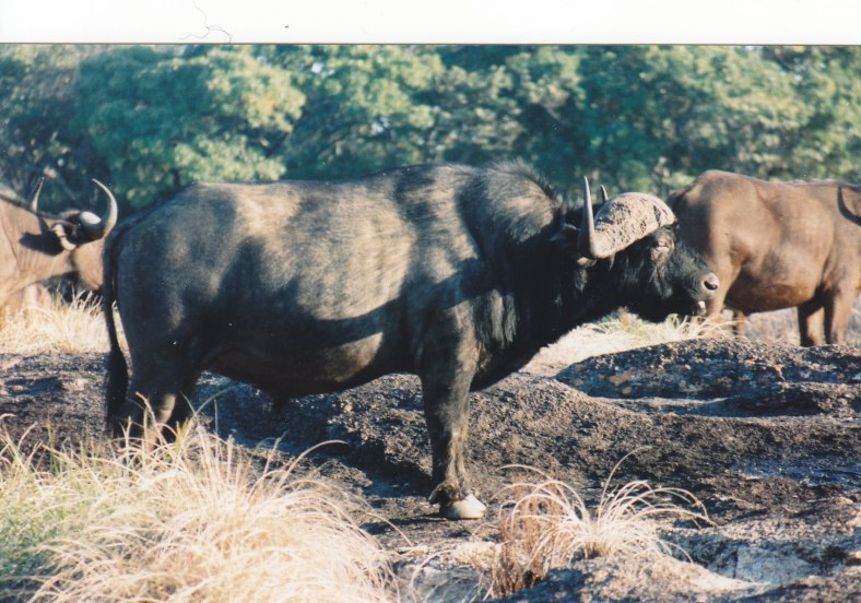 Büffel im Kyle Nationalpark © Wolfgang Stoephasius