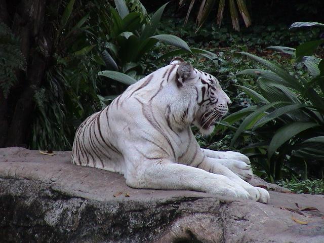 Der weiße Tiger © Wolfgang Stoephasius