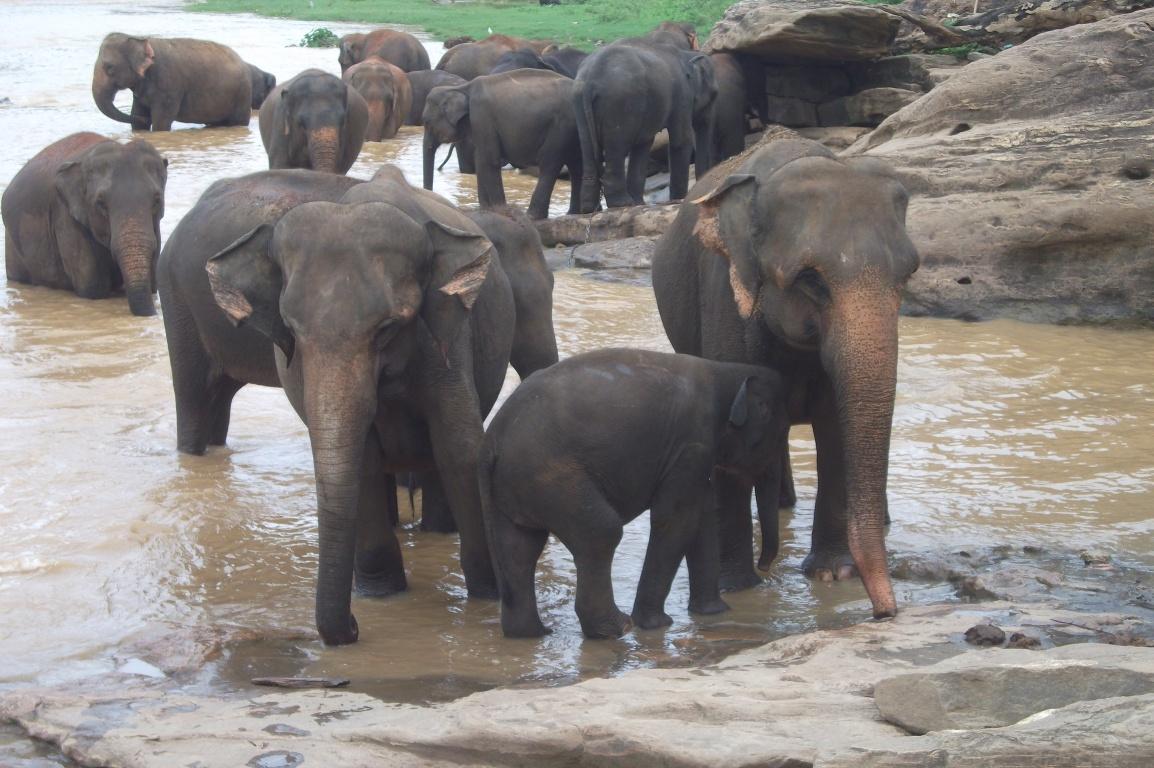 Pinnawala: Elefanten beim Bad © Wolfgang Stoephasius