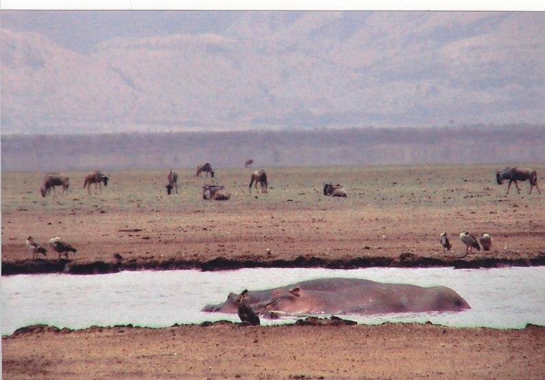 Hippos am Lake Manyara © Wolfgang Stoephasius