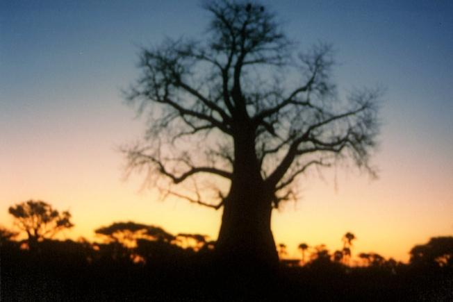 Baobab © Wolfgang Stoephasius