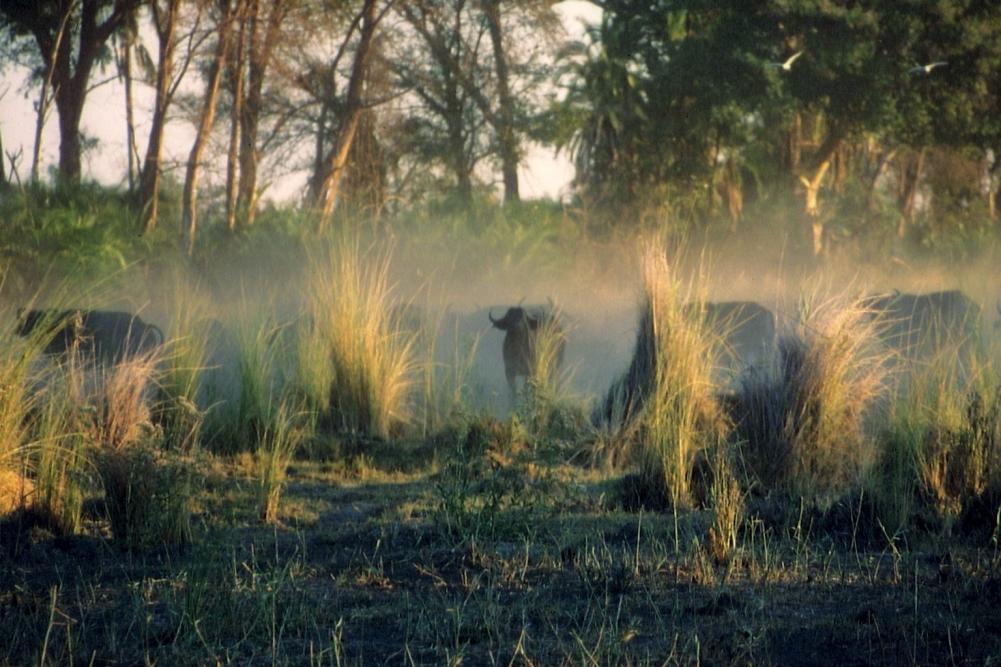 Big five: Büffel © Wolfgang Stoephasius