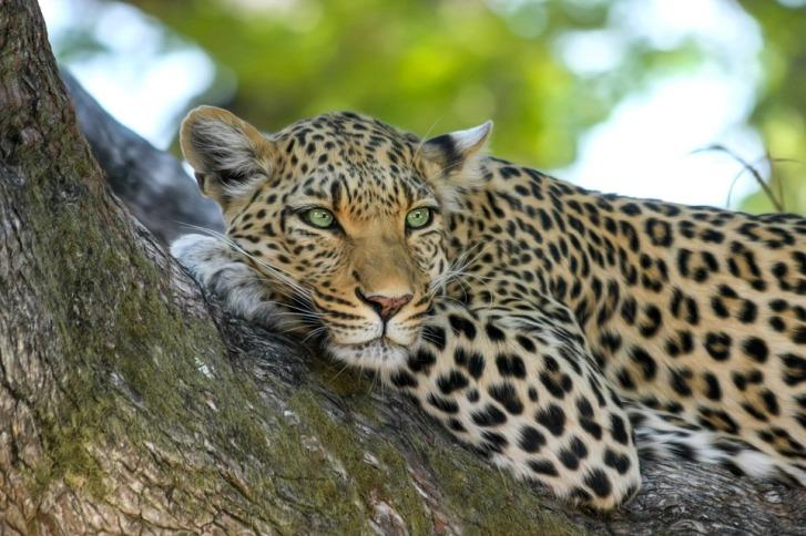 Big five:Leopard