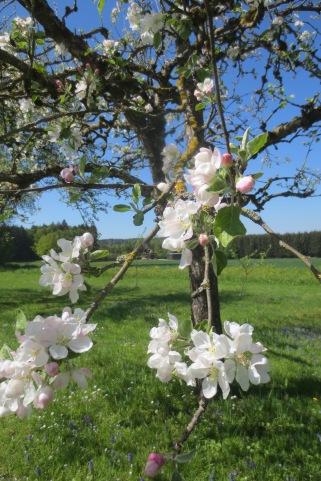 Apfelblüten © Wolfgang Stoephasius